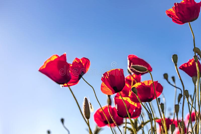 Red poppies buds and flowers in the sunlight against blue sky. Red poppies buds and flowers close up in the sunlight against blue sky royalty free stock photo