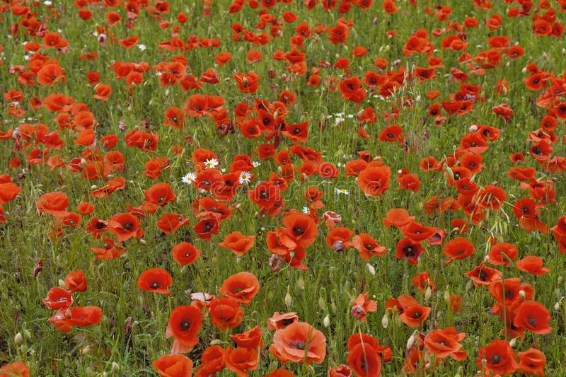 The red poppies close-up in summer time stock photos