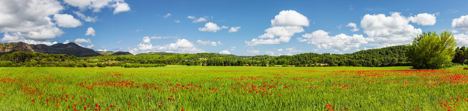 Red Poppies in cornfiled with blue sky stock images