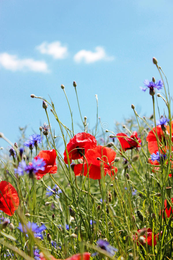 Red poppies and cornflowers on the blue sky background. royalty free stock photography