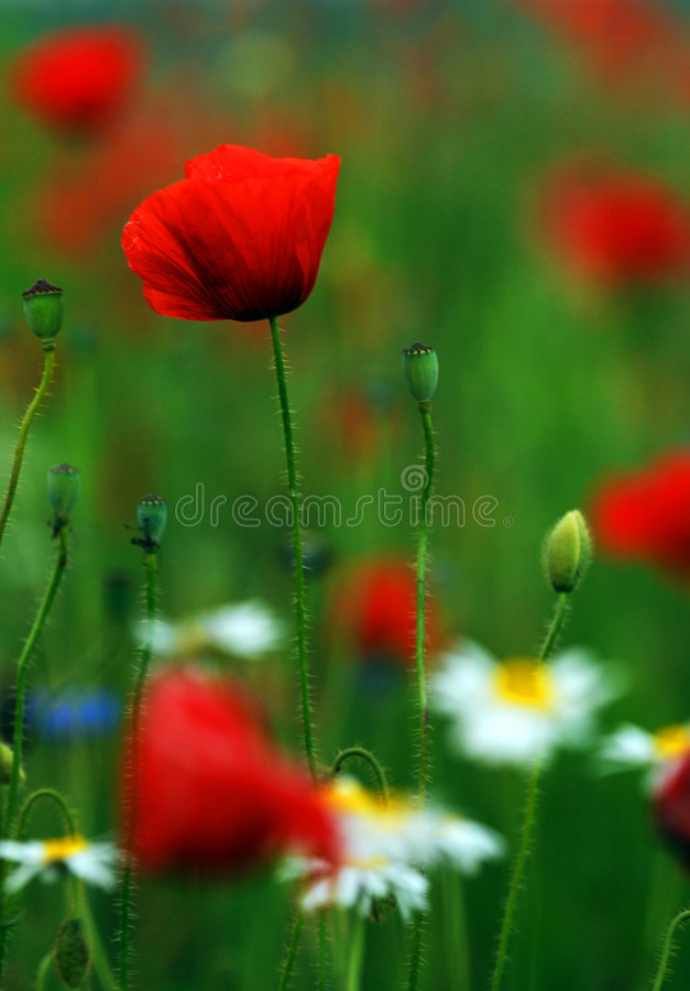 Red Poppies Field. Red poppies in a field with green grass and daisies stock photos