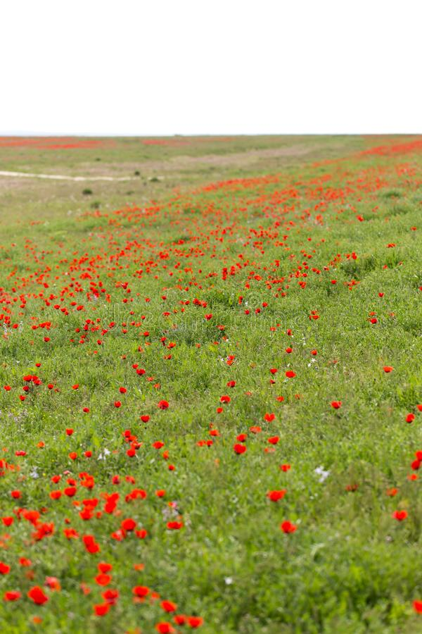 Red poppies in the field as background royalty free stock photo