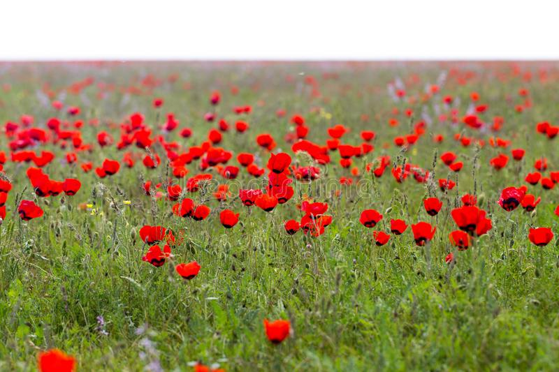 Red poppies in the field as background stock photo