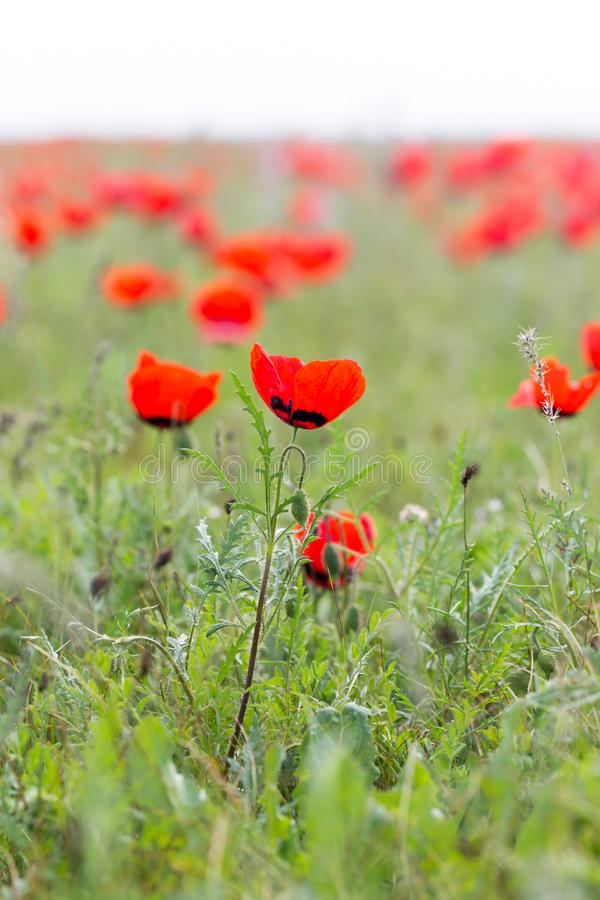 Red poppies in the field as background stock images