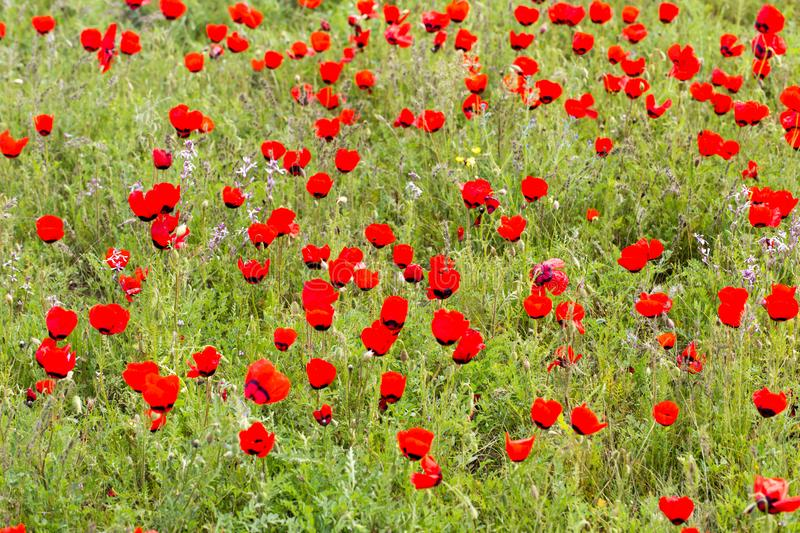 Red poppies in the field as background royalty free stock images
