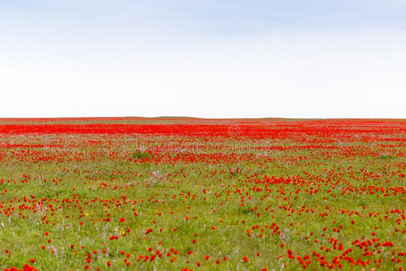 Red poppies in the field as background royalty free stock photos