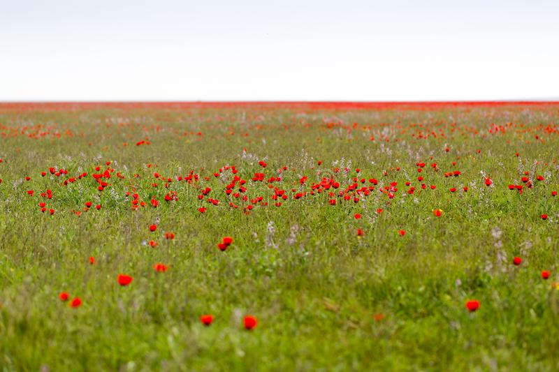 Red poppies in the field as background stock image