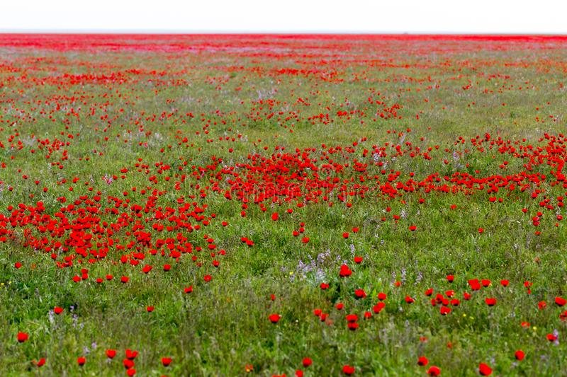 Red poppies in the field as background royalty free stock image