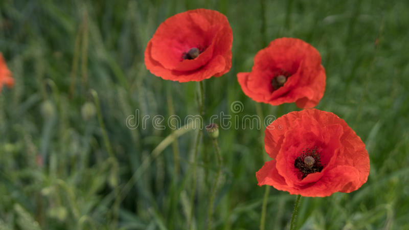 Red poppies on the field, big flowers stock photos