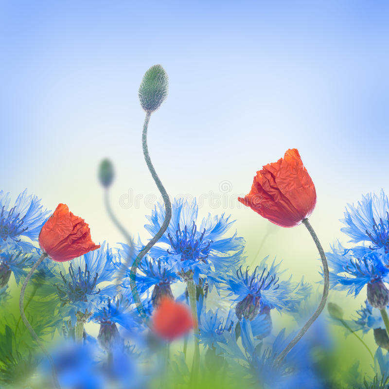 Red poppies field and blue cornflowers royalty free stock photo