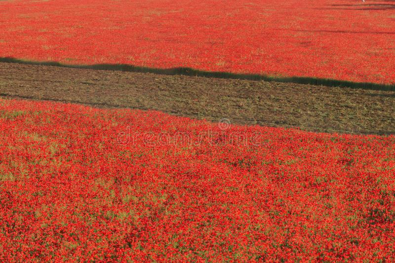 Red poppies field with furrow. Weed control. Red poppies field with furrow. Weed control in agriculture royalty free stock photo