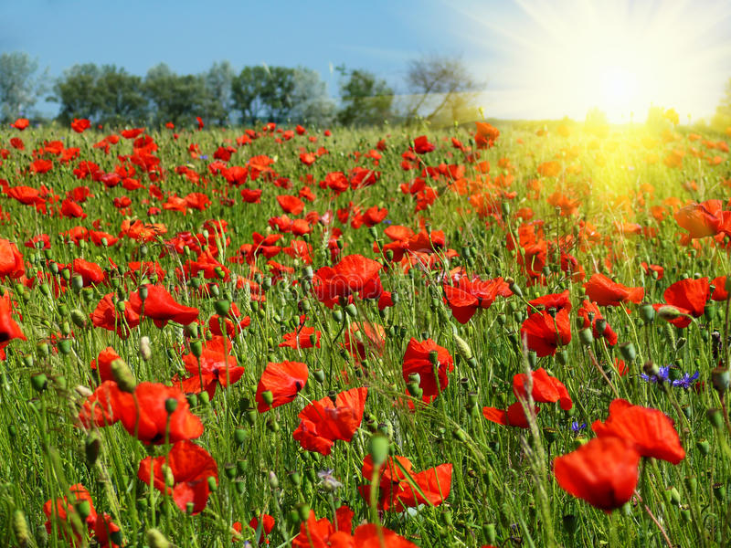 Red poppies field in sunshine stock images