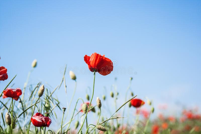 Wild red poppies flowers against blue sky. Red poppies flowers against blue sky royalty free stock photo