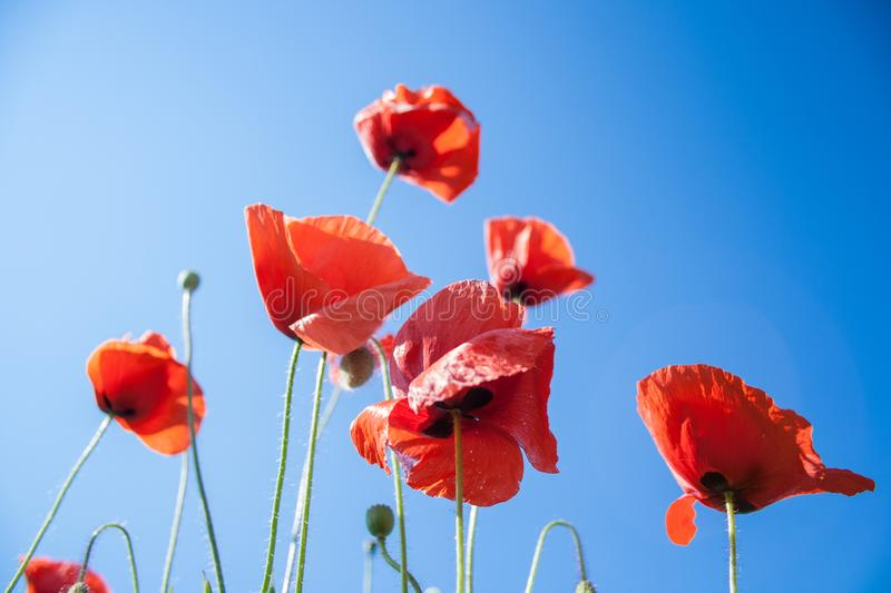 Wild red poppies flowers against blue sky. Red poppies flowers against blue sky stock images