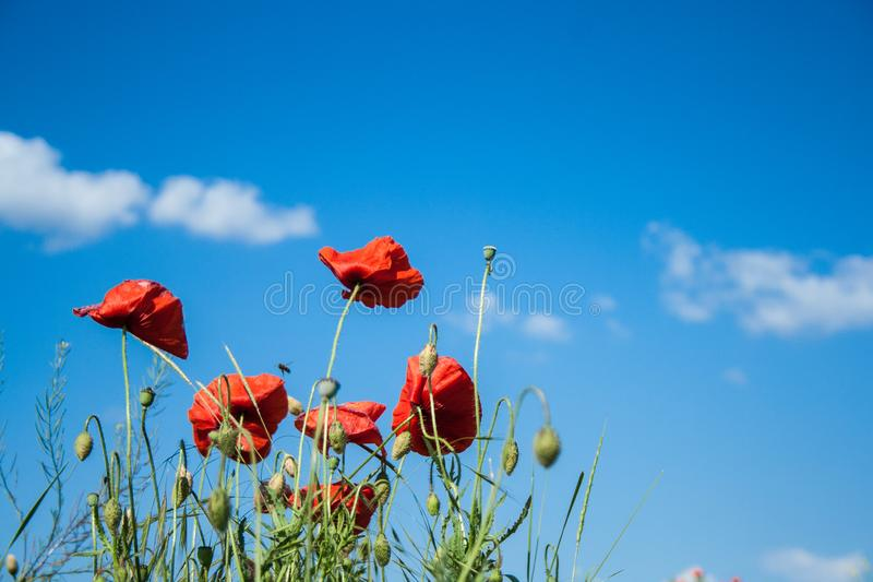 Wild red poppies flowers against blue sky. Red poppies flowers against blue sky royalty free stock photography