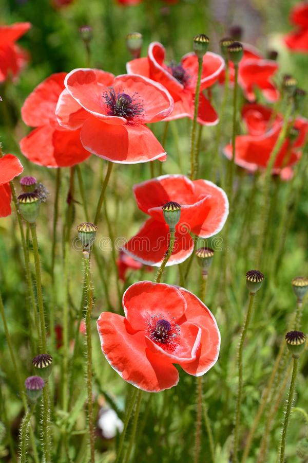 Red poppies flowers in Kyoto Botanical Garden. Japan stock photos