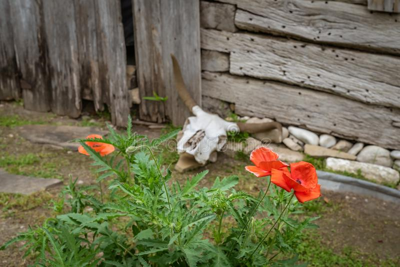 Red poppies in foreground with cow skull in background. Next to a rustic wooden building stock photo