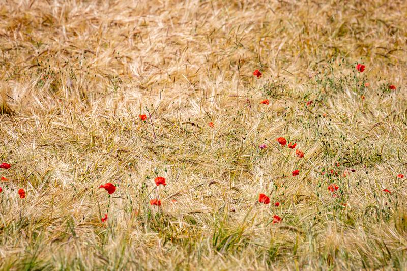 Red Poppies and Golden Wheat. Poppies growing in a wheat field in Sussex, on a sunny summers day stock image