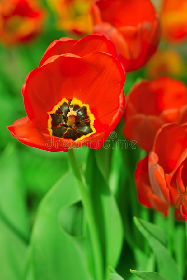 Download Red Poppies Royalty Free Stock Image - Image: 33721286