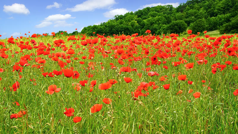 Red poppies on green field stock photo