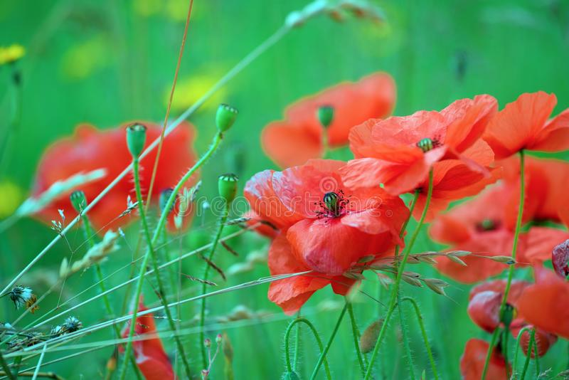 Red poppies on green field royalty free stock images