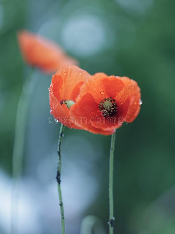 Red poppies growing in the meadow. Two red poppies in raindrops growing on the meadow, beautiful delicate flowers, spring day stock images