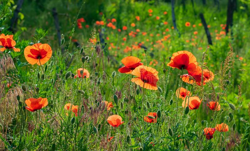 Red poppies in high green grass illuminated by morning sunlight. Summer meadow with wildflowers. Red poppies in high green grass illuminated by morning sunlight royalty free stock image