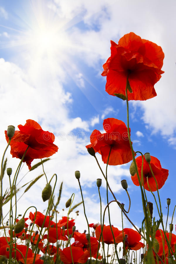 Free Red Poppies In Meadow Stock Photography - 15709732