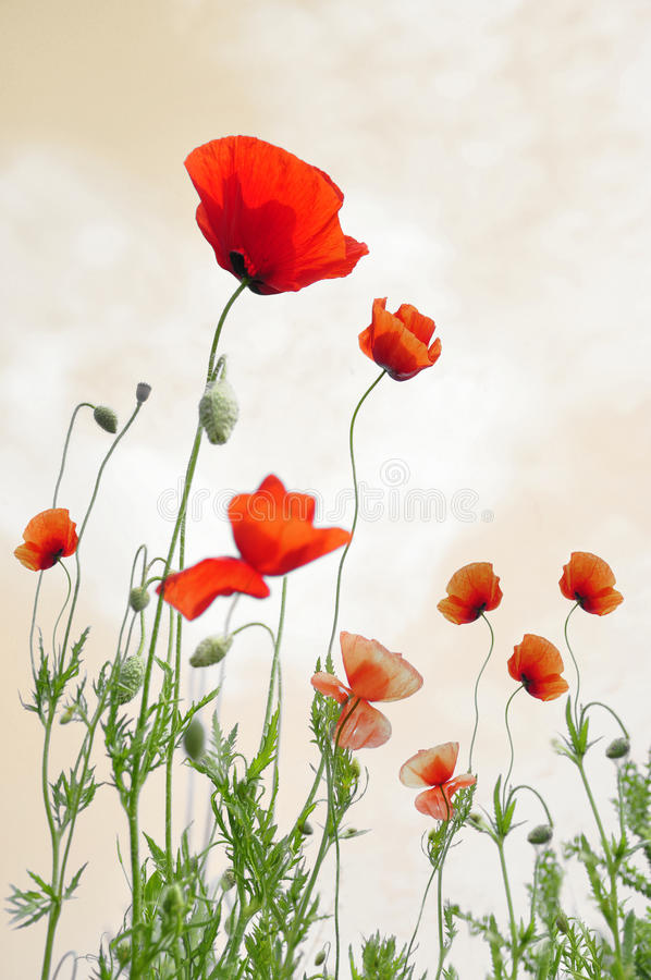 Red Poppies Isolated stock photo