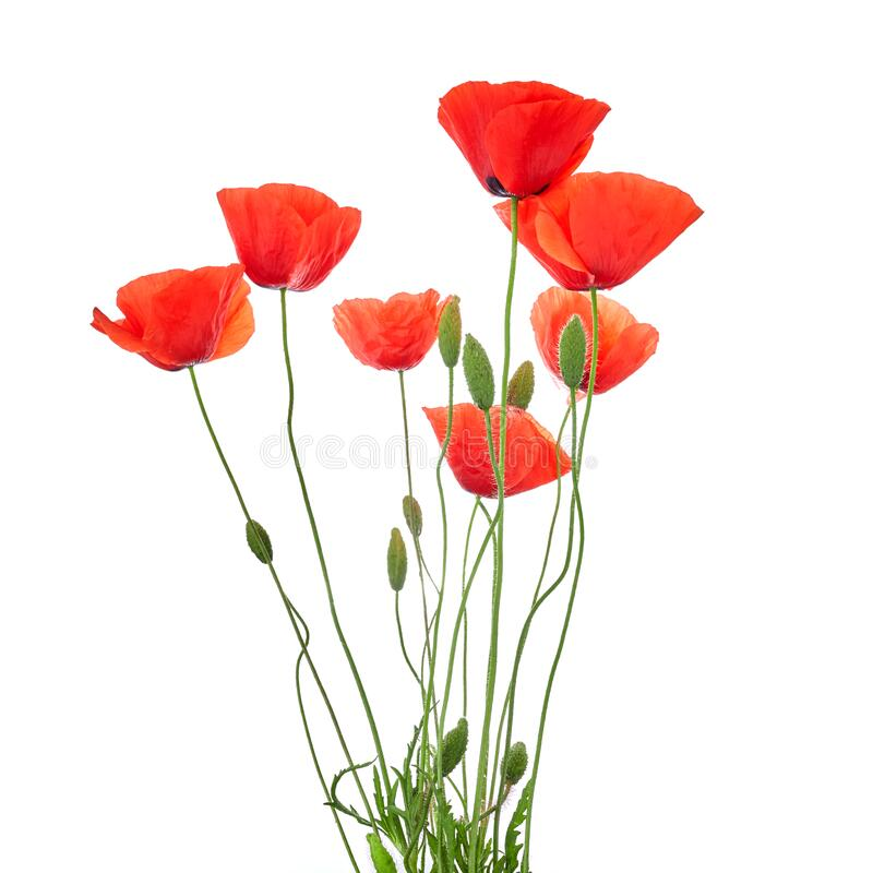 Free Red Poppies Isolated On White Background. Wild Spring Wildflower. Remembrance Day Background Stock Images - 186290584