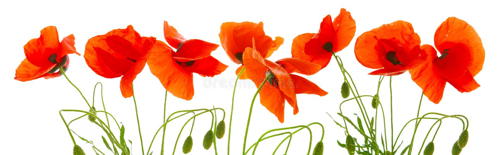 Red poppies isolated . stock photos
