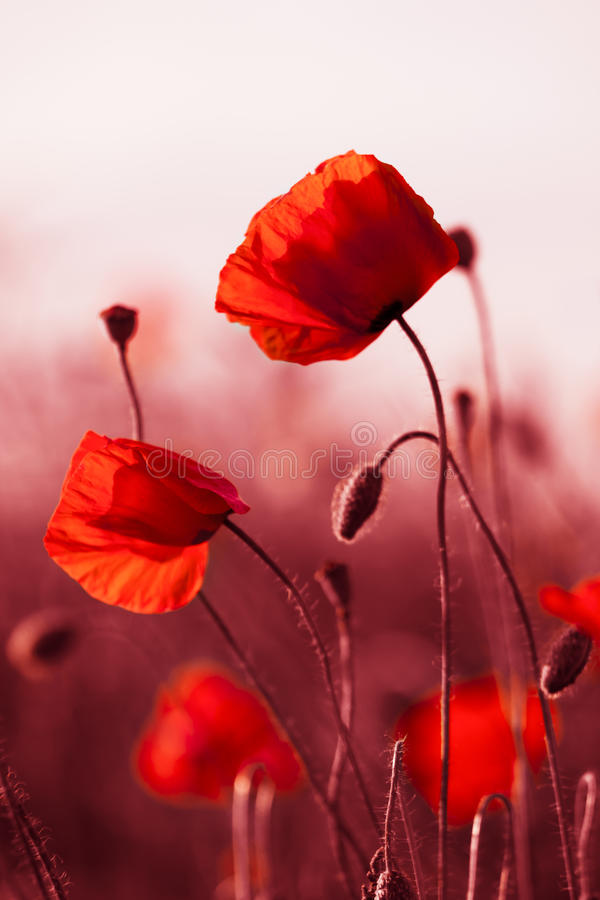 Red Poppies in Meadow royalty free stock photos