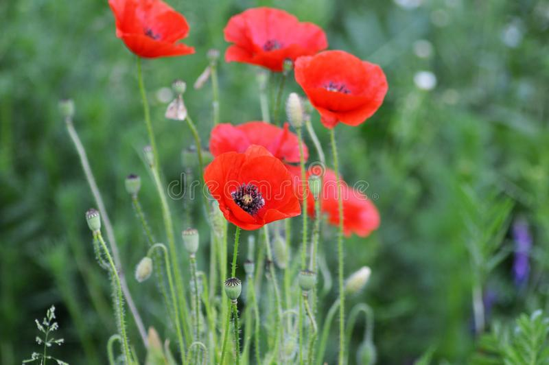 Red poppies on meadow. Wild red poppies growing on a meadow stock photography