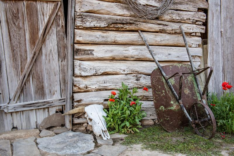 Red poppies next to an old barn with wheelbarrel. And a cow skull royalty free stock photos