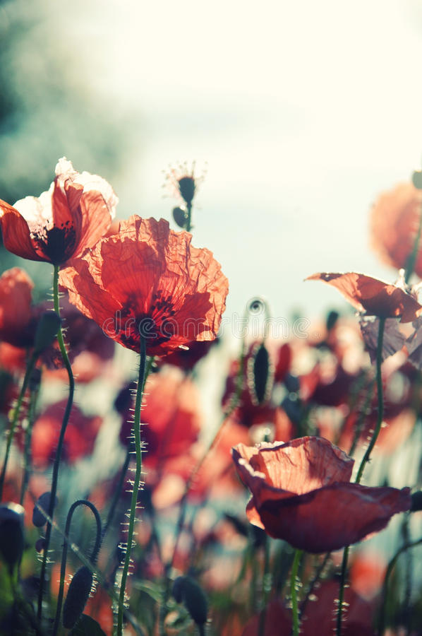Download Red poppies in Provence stock image. Image of green, south - 26677961