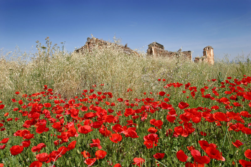 Red poppies in a sunny field with blue sky stock photography