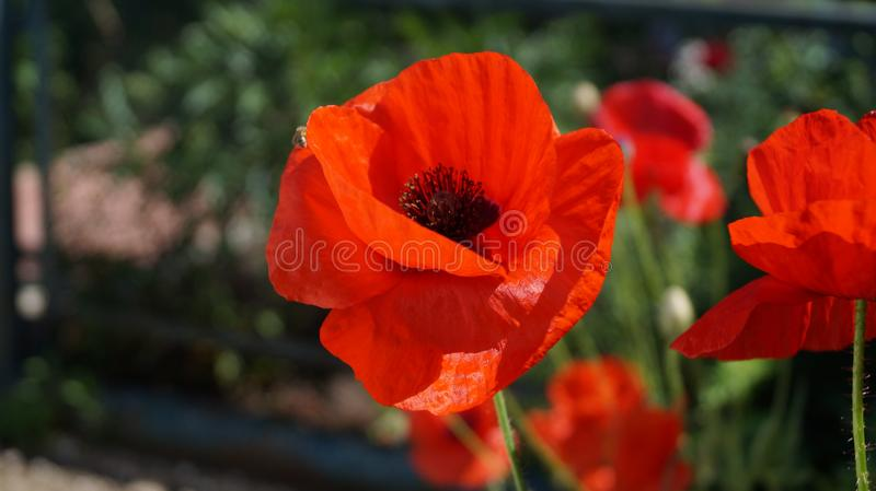 red poppies.  symbol. red poppies bloom in summer in July. royalty free stock photo
