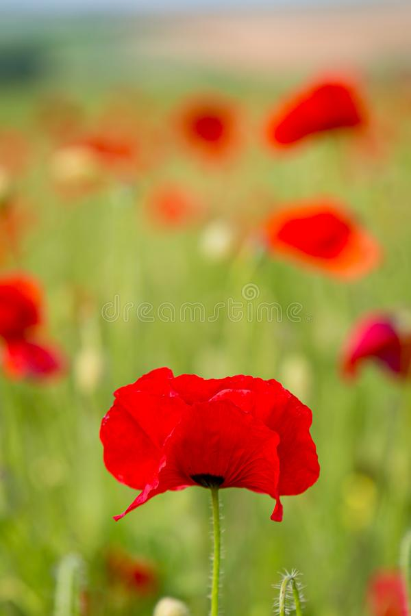 Red Poppies. Vibrant red poppies in the Sussex countryside, on a sunny summers day stock images