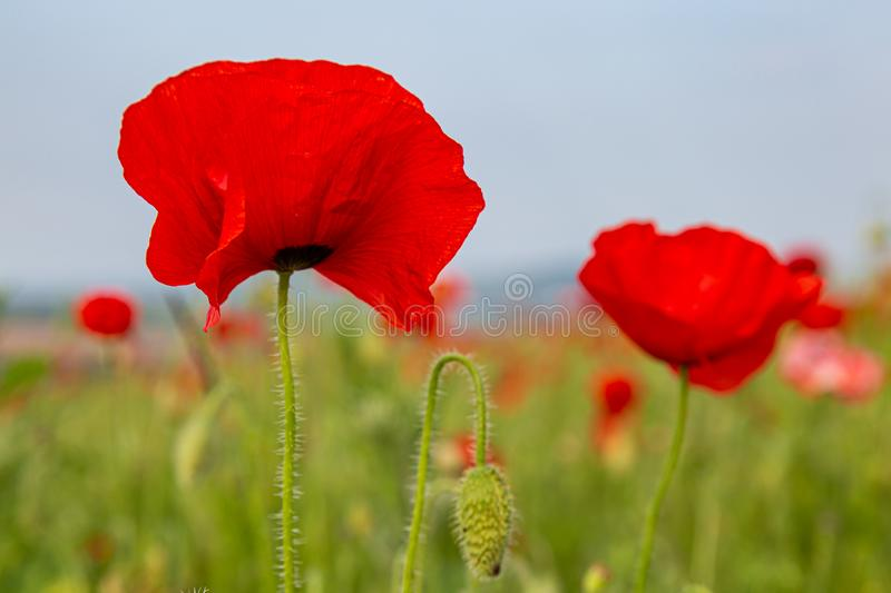 Red Poppies. Vibrant red poppies in the Sussex countryside, on a sunny summers day royalty free stock photo