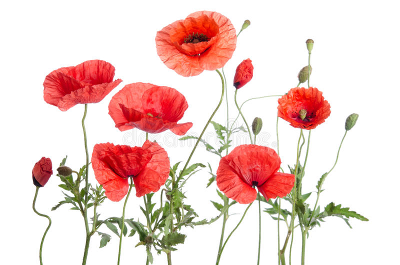 Red poppies. On white background royalty free stock photography