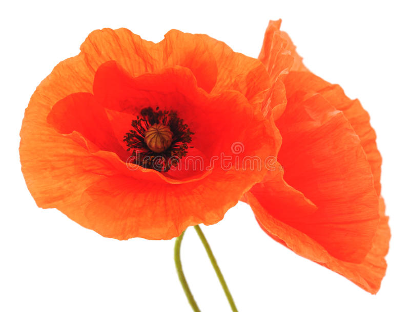 Red poppies. Red poppies on a white background stock photo