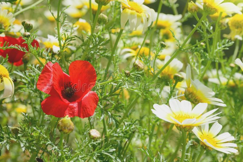 Red poppies and white wild daisies on the field, among green grass. Summer sunny day. Wildflowers stock image
