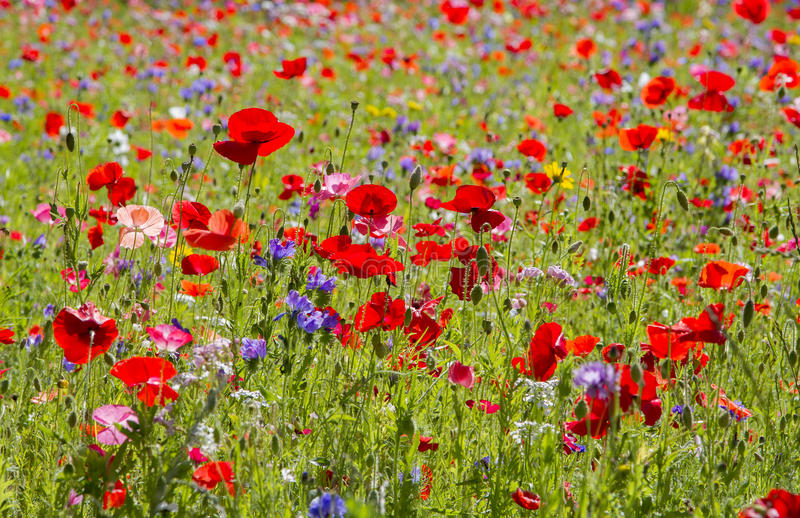 Red poppies and wild flowers royalty free stock image