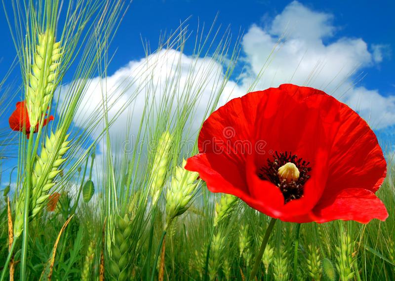Download Red poppy stock image. Image of field, flour, clear, plant - 12502975