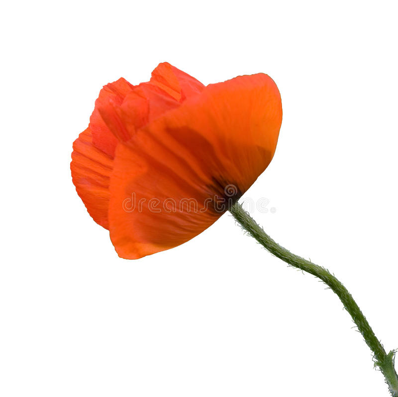 Red poppy stock photography