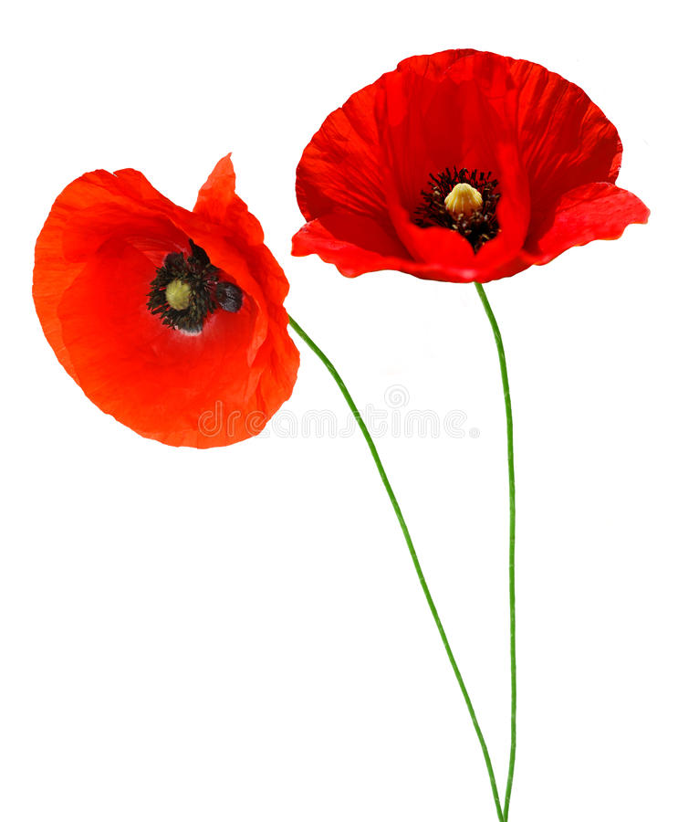 Download Red poppy stock image. Image of natural, blossom, field - 14895293