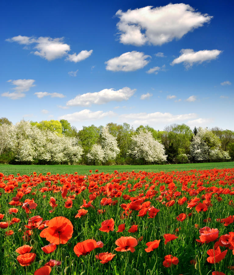 Download Red poppy stock image. Image of clear, agricultural, animal - 19430073