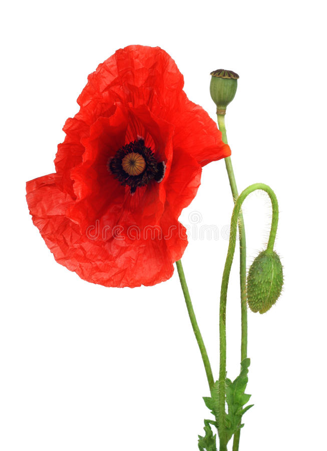 Download Red poppy stock photo. Image of fragility, natural, wavy - 21427646