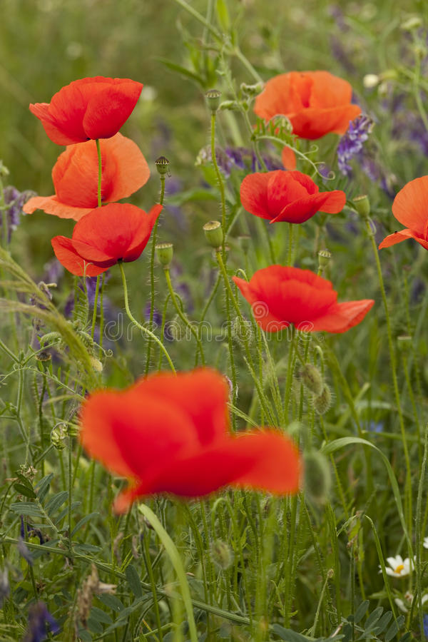 Download Red poppy stock photo. Image of field, plant, herb, background - 21476680