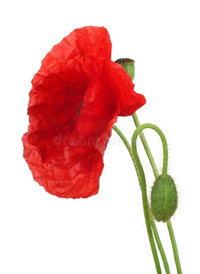 Download Red Poppy Stock Photography - Image: 21637912